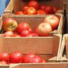 Fresh farm tomatoes in the sun